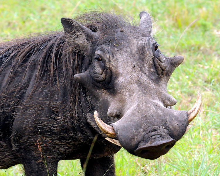 Warthogs: so ugly they're cute