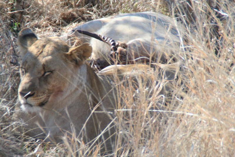 Lioness on a Kudu kill