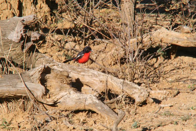Crimson Breated Shrike
