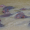A pod of hippos. A pod consists of one male and several females. If a female gives birth to a male hippo, she sequesters herself from the pod to prevent the bull from killing the calf.