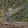 A heron (purple heron?).
