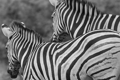 Safari at Phinda Private Game Reserve