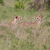 Two male cheetahs (brothers) we saw on our second day at Phinda. Something had their attention and it wasn't us as they walked by not more than 5 feet from the truck.