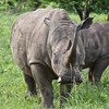 "The white rhino. ""White"" was originally ""wijd-- wide"" (referring to its mouth), but the English misunderstood the Dutch."