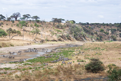 Zebras at the river
