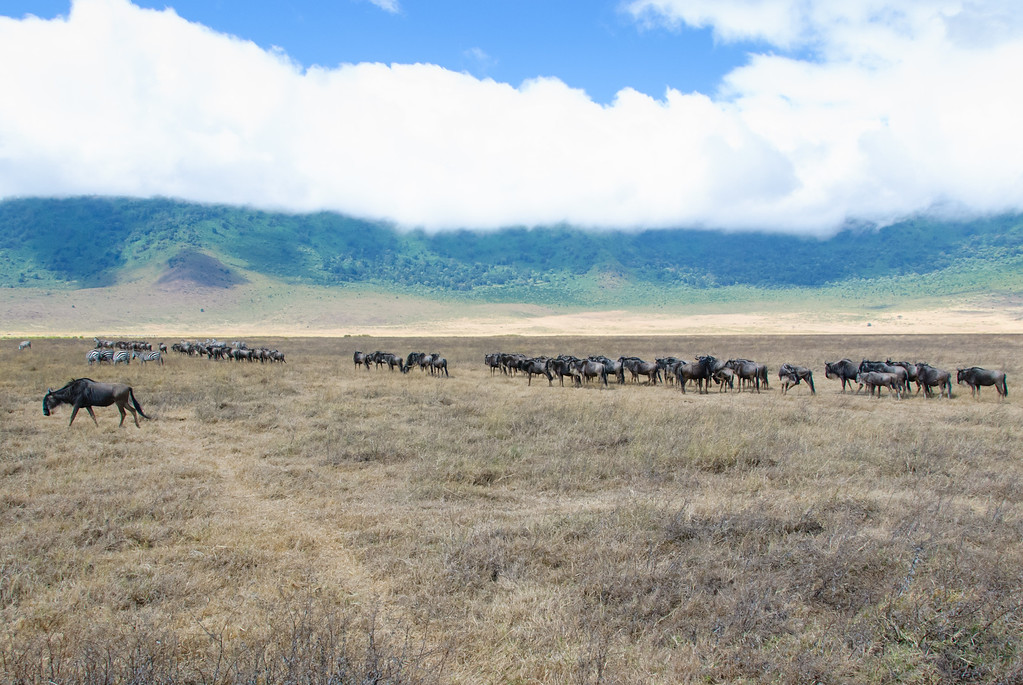 It is amazing how the animals walk in a line with so much space to wander.
