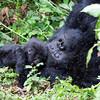 Africa 2011, Rwanda, mountain gorillas, day 1