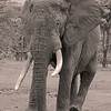 Elephant in black and white -