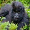 Africa 2011,Rwanda, mountain gorilla