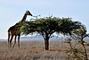 Reticulated Giraffe Eating Acacia Tree