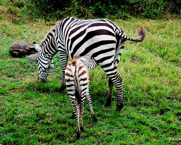 baby and mother zebra
