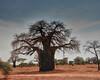 IMG 7512 baobub tree
