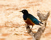 7572  superb starling