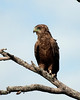 _MG_7876 tawny eagle