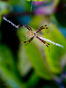 _MG_7772 Argiope   flavipalpis (1)