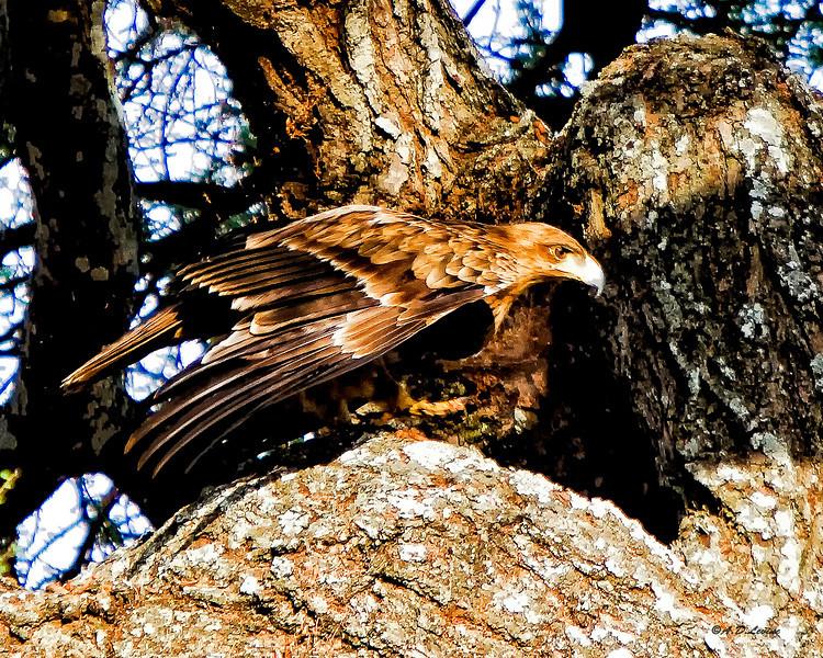 _MG_7884 tawny eagle