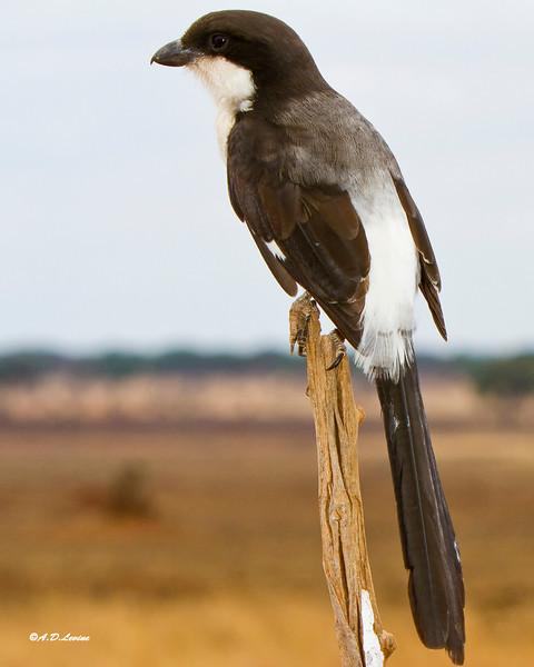 _MG_7954 long tailed fiscal shrike
