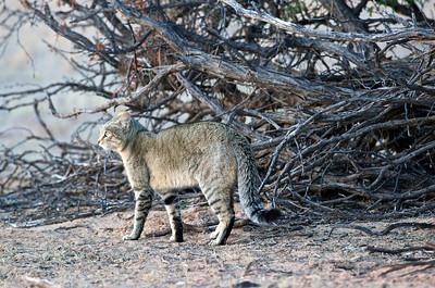 African wild cat, Kgaligadi Transfrontier Park, South Africa