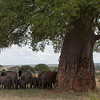 Elephants, like many large animals, like use the trees (here the large baobab tree) for their shade during the middle of the day.
