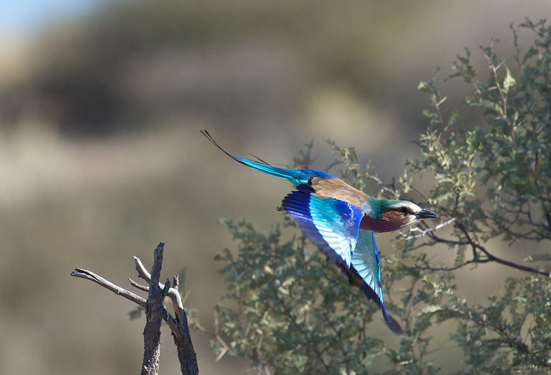 Lilac-breasted roller, Namibia
