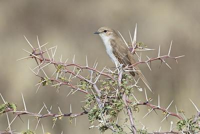Pallid flycatcher, Kgaligadi Transfrontier Park, South Africa