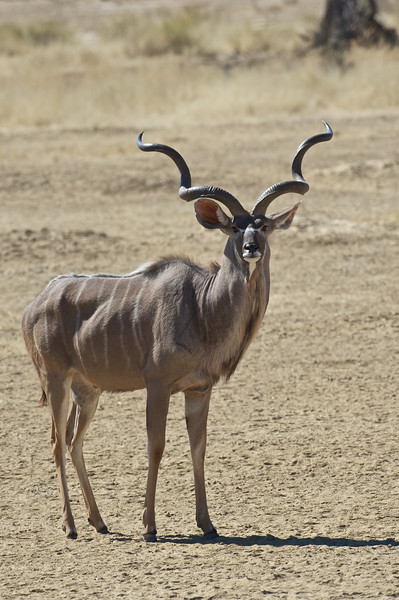 Old kudu bull, Kgaligadi Transfrontier Park, South Africa