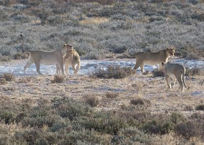Male and female black-maned lion, near eland kill, Kgaligadi Transfrontier Park, South Africa
