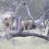 Video taken by Suzy Fitch of the two lion brothers as they walk around us.