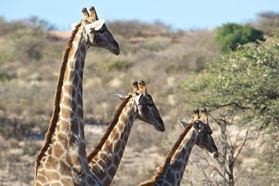 Giraffe, Kgaligadi Transfrontier Park, South Africa