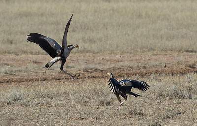 Secretary bird dispute, Kgaligadi Transfrontier Park, South Africa