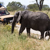 Like most animals we saw, the elephants in effect ignored us, walking around us and through us as they tramped through the grass and trees. Here a mom and baby cross between our two vehicles.