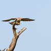 I think this is a Tawny Eagle coming in for a landing
