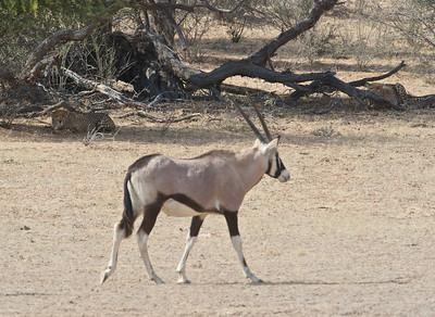 Cheetah eyeing oryx, Kgaligadi Transfrontier Park, South Africa