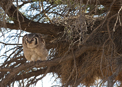 Eagle owl, Kgaligadi Transfrontier Park, South Africa