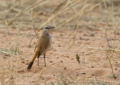 White-browed scrub robin, Kgaligadi Transfrontier Park, South Africa