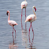 The Greater flamingo is larger and white (other than wings, legs and bills), while the Lesser flamingo on the left is smaller and pink all over