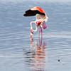 Flamingo sex.