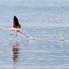 On one of the small lakes there were hundreds of flamingos Here a greater flamingo strides to take flight