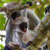 In a reserve on the east side of the island, we interracted with a troop of Red Colobus monkeys. These are endangered, only about 2500 individuals left, all on the island