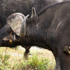 Ox peckers grooming a Cape Buffalo