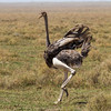Ostriches were seen throughout the trip.