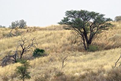 Kahalahari Desert landscape, Kgaligadi Transfrontier Park, South Africa