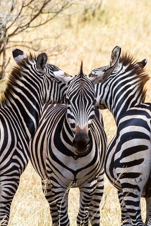Zebras are everywhere- they are the horse of Africa. They seem to like to rest their heads on each other, at times in opposite directions, which appears to be a method of watching for predators. More below about that