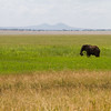 In the marshes of Tarangire, a lone bull elephant munches on grass