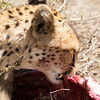 Cheetahs eat ribs like us too. Only not cooked