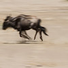 Wildebeests running. We did not happen to come across migrating herds of thousands, but did see large groups.