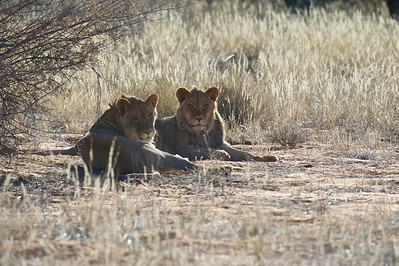 Young male black-maned lion, Kgaligadi Transfrontier Park, South Africa