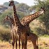 3 bachelor giraffes.