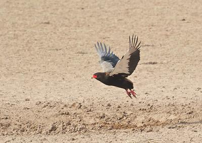 Bataleur, Kgaligadi Transfrontier Park, South Africa