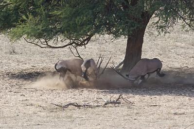 Oryx disagreement, Kgaligadi Transfrontier Park, South Africa